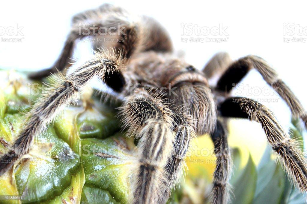 Image of tropical tarantula spider crawling over pineapple fruit royalty-free stock photo