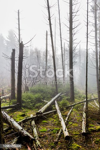 image of trunks of fallen trees after a big storm with haze in the middle of the forest on a winter day in the Belgian Ardennes