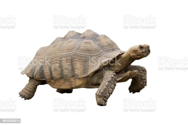 Image of turtle isolated on white background wild animam picture id664908914?b=1&k=6&m=664908914&s=612x612&h=m5et4c yxsfuc1a1l7yiqygh2iuamdaqfrbpvi2rxfs=