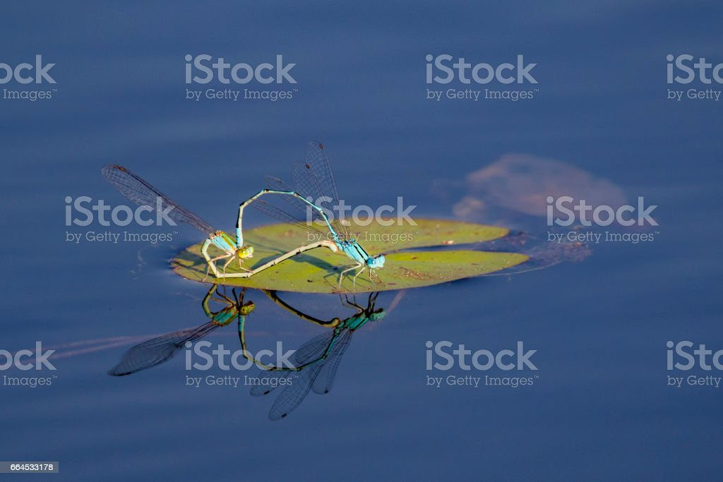Image of two dragonflies mating on the water. Insect Animals. royalty-free stock photo