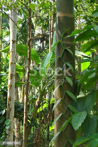 Stock photo of vanilla planifolia vine growing at spice farm in Goa, India, for its acclaimed vanilla pods, which when harvested, are used to flavouring cakes and various cooking uses.