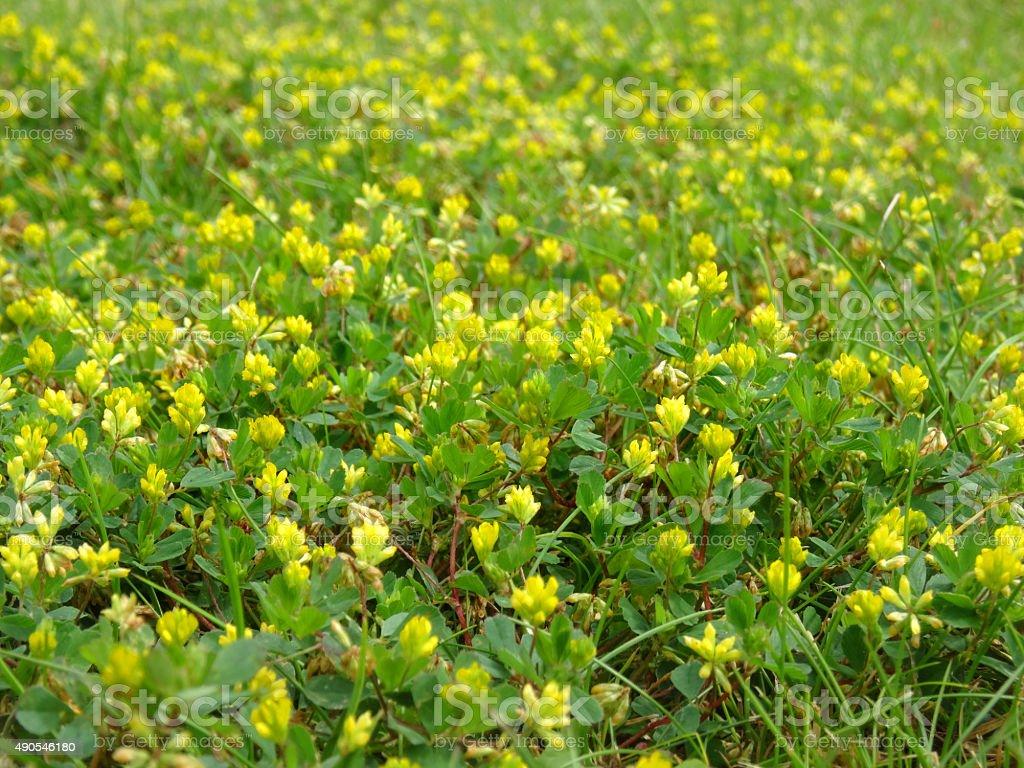 bild von weedy lawn ist mit gelben saugen klee weniger trefoil stock fotografie und mehr bilder. Black Bedroom Furniture Sets. Home Design Ideas