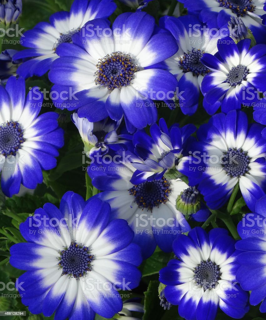 elegant image of white and blue daisy flowers cineraria houseplants with white flowering house plants