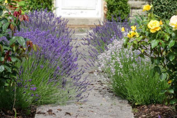 Bild von weißen und lila lila englischen Lavendelblüten und französischen Lavendelpflanzen, die Betonweg säumen, der zur Haustür im Garten führt, blühende Lavendel überwuchert und über den Pfad mit Rindenmulch, Unkraut und gelben Rosen, Lavandulas – Foto
