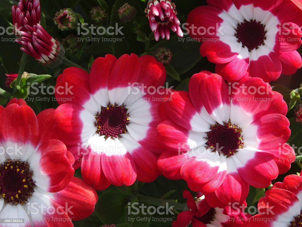 Image of white and red daisy flowers cineraria plants stock photo image of white and red daisy flowers cineraria plants pericallis hybrida royalty izmirmasajfo
