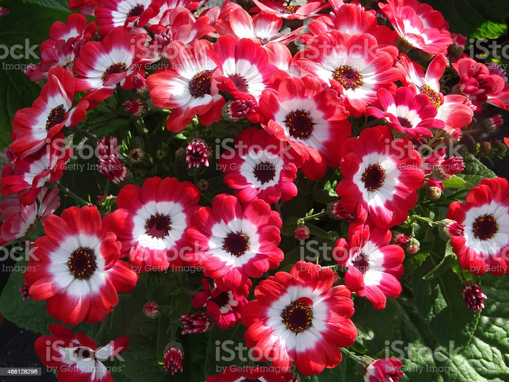 Image of white and red daisy flowers cinerarias asters stock photo image of white and red daisy flowers cinerarias asters pericallis hybrida izmirmasajfo
