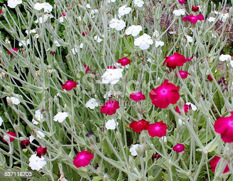 Photo showing the magenta red and white flowers of two spreading Rose campion plants in a herbaceous borders.  The red flowers are a variety known as 'Mullein pink', while the white flowers are 'Alba'.  Other common names for this herbaceous plant include Corn Rose, Dusty Miller and Crown of the Field.