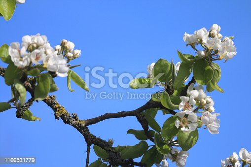 Stock photo of flowering apple tree malus with white flowers, white apple blossom petals in spring against sunny blue sky,blossoms, leaves and blooms growing in fruit vegetable allotment gardens, with woody branches, twigs and pollen for honey bees pollination