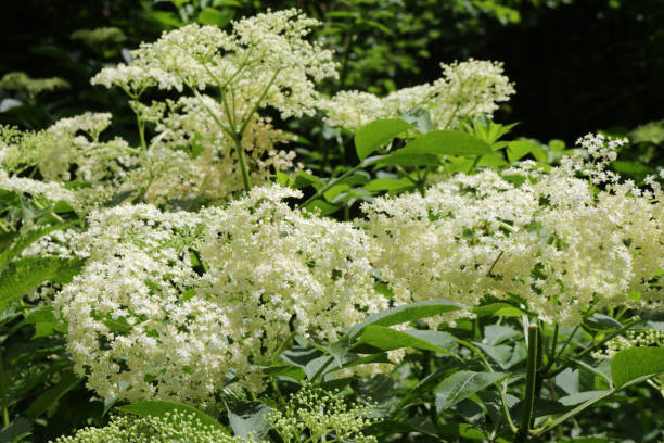 Image of white flowers on wild elder tree / elderberry / elderflower in spring, Latin name Sambucus, cultivated deciduous common elderflower tree shrub growing in front garden countryside hedge hedgerow, grown for elderflower cordial and champagne stock photo