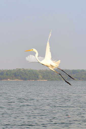 Stock photo of white heron flying, pictured just after starting to fly, splashes of water dripping from the feet of this waterfowl bird, known as an Indian great egret / great white heron.