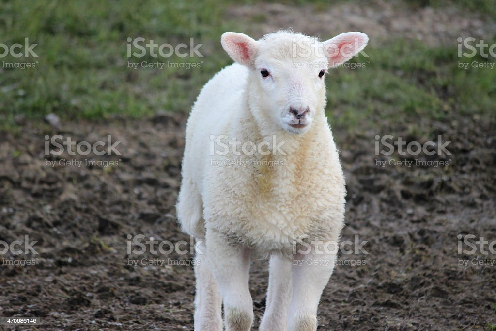 Image of white lamb / baby sheep walking forwards, muddy field stock photo