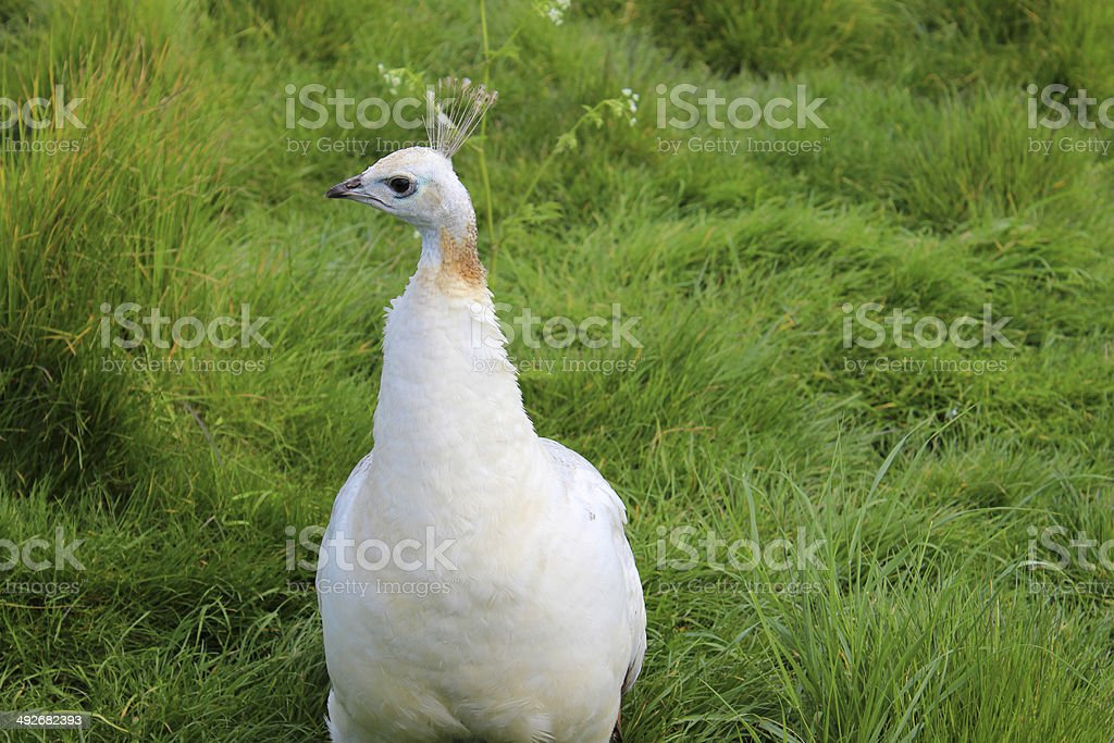 Image of white peahen bird (female peacock) on garden lawn stock photo