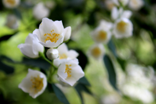 Image of white Philadelphus flowers / Philadelphus coronarius / mock orange flowers