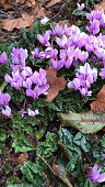 Stock photo of purple wild autumn cyclamen flowers, flowering cyclamen hederifolium plants with a carpet of pink flowers in Alpine garden / sink garden under hedge with tubers / corms / ivy leaves / ivy leaved sowbread plant, chipped bark mulch covering soil surface