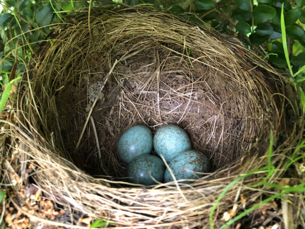 Image of wild bird's nest with speckled brown and blue blackbird's eggs in hedgerow wildlife garden, English Eurasian common blackbird / black bird nest (Turdus merula) made with dried grass, hay, straw, leaves and twigs with four eggs ready to hatch stock photo