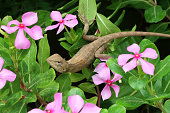 Image of wild chameleon lizard changing colours to match background / chamaeleon in Indian garden looking for food insects in pink periwinkle flowers, chamaeleonidae family of chameleons species popular as pet lizards that change colour in vivarium