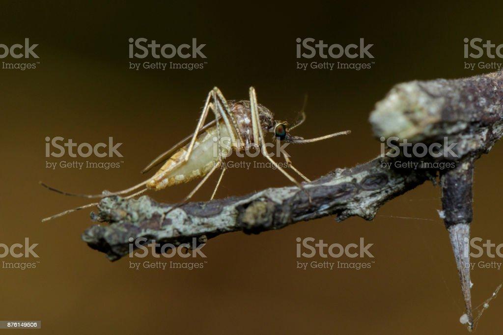Imagen del mosquito silvestre en la rama. Insectos. Animal - foto de stock