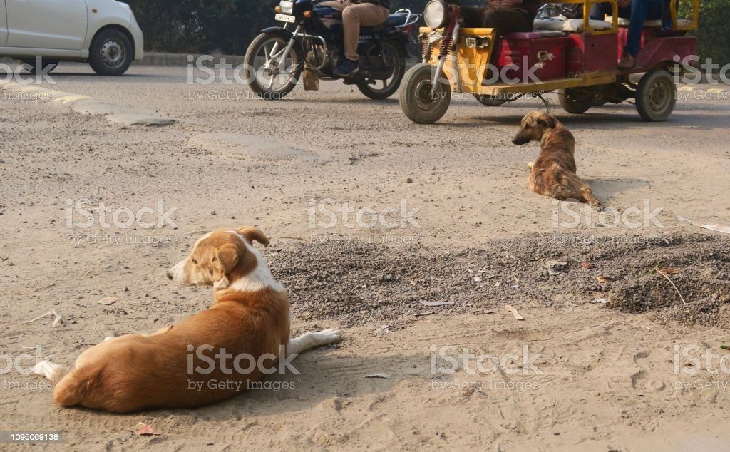 Image Of Wild Stray Dogs On Dusty Road In India Watching