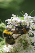 Stock photo of wild western honey bee collecting pollen from cow parsley wild flower and pollinating seedhead in natural wildlife garden with green background, stripy black and orange bees insects ready to return to beehive apiary beekeeper / beekeeping hobby