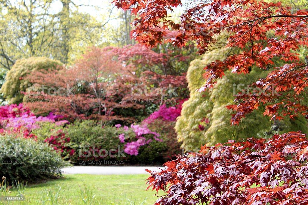 Image of woodland garden with flowering azaleas and Japanese maples stock photo