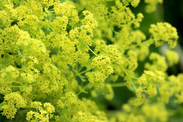 obraz żółte alchemilla mollis kwiaty/rośliny trawiastych przywrotnik - przywrotnik zdjęcia i obrazy z banku zdjęć