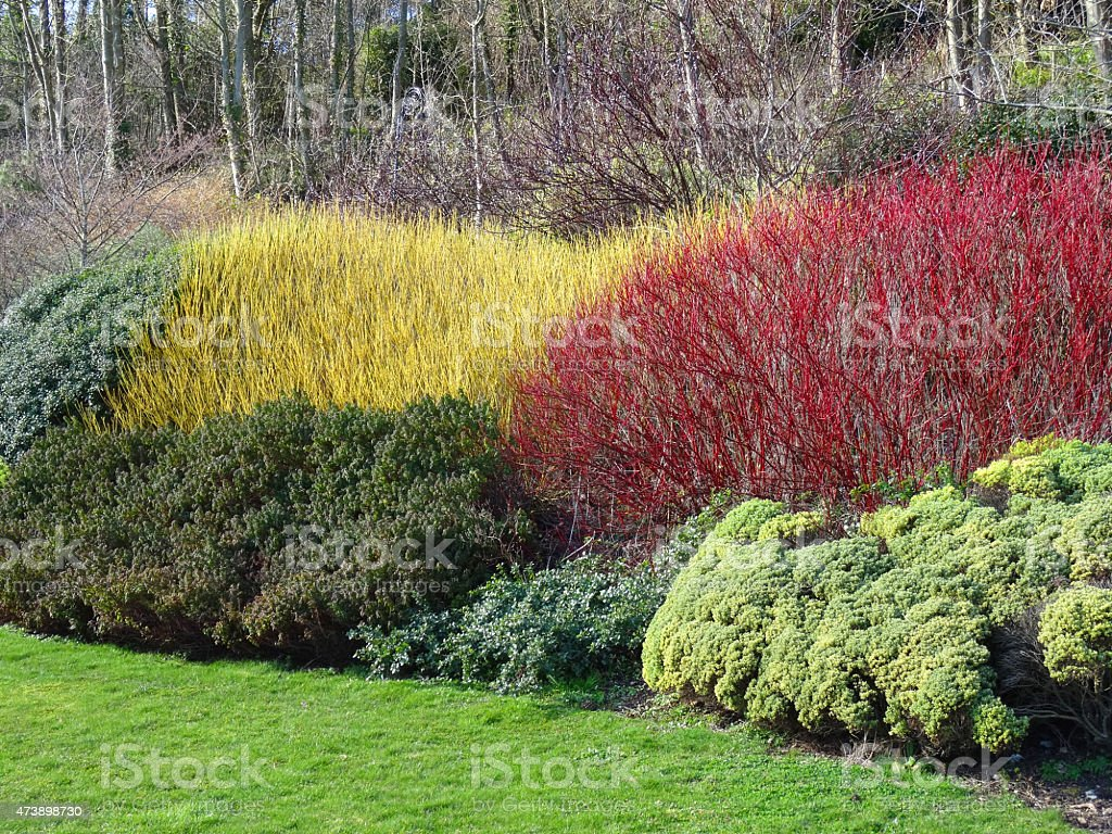 Image of yellow and red cornus / dogwood stems in winter stock photo