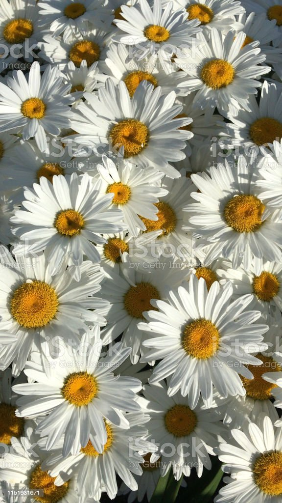 Image Of Yellow And Whites Daisies In Flower As Wallpaper