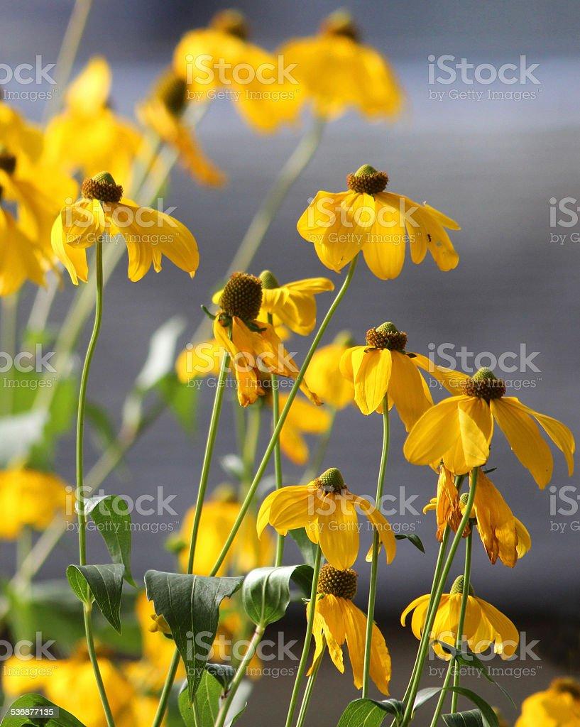 Image Of Yellow Flowers On Pinnate Prairie Coneflower Stock Photo
