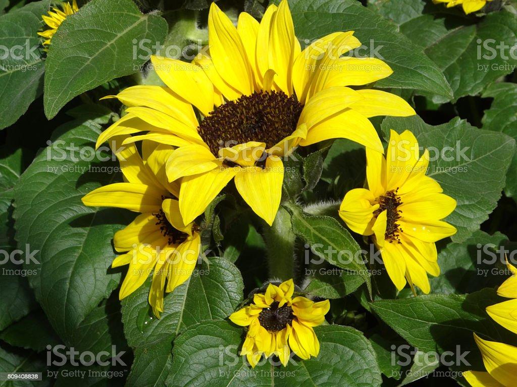 Image of yellow flowers, pot planted sunflowers (Helianthus annuus) stock photo
