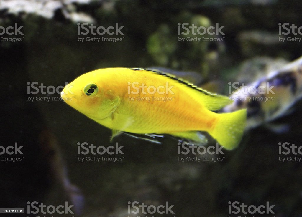 Image of yellow malawi cichlid fish (yellow lab / Labidochromis caeruleus) stock photo