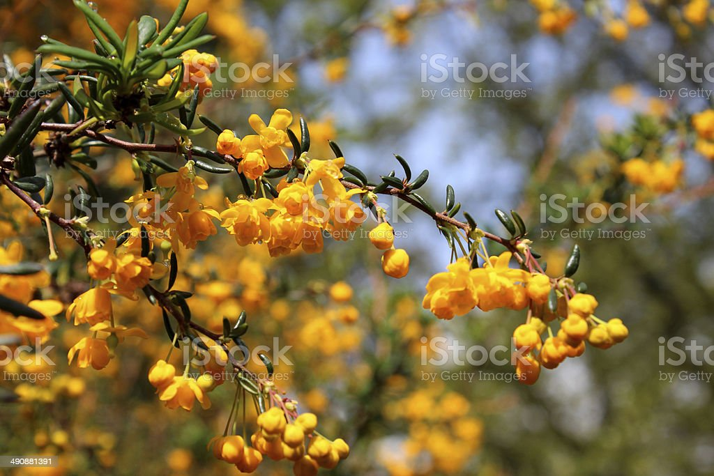 Image of yellow / orange flowers on evergreen Berberis Stenophylla shrub stock photo