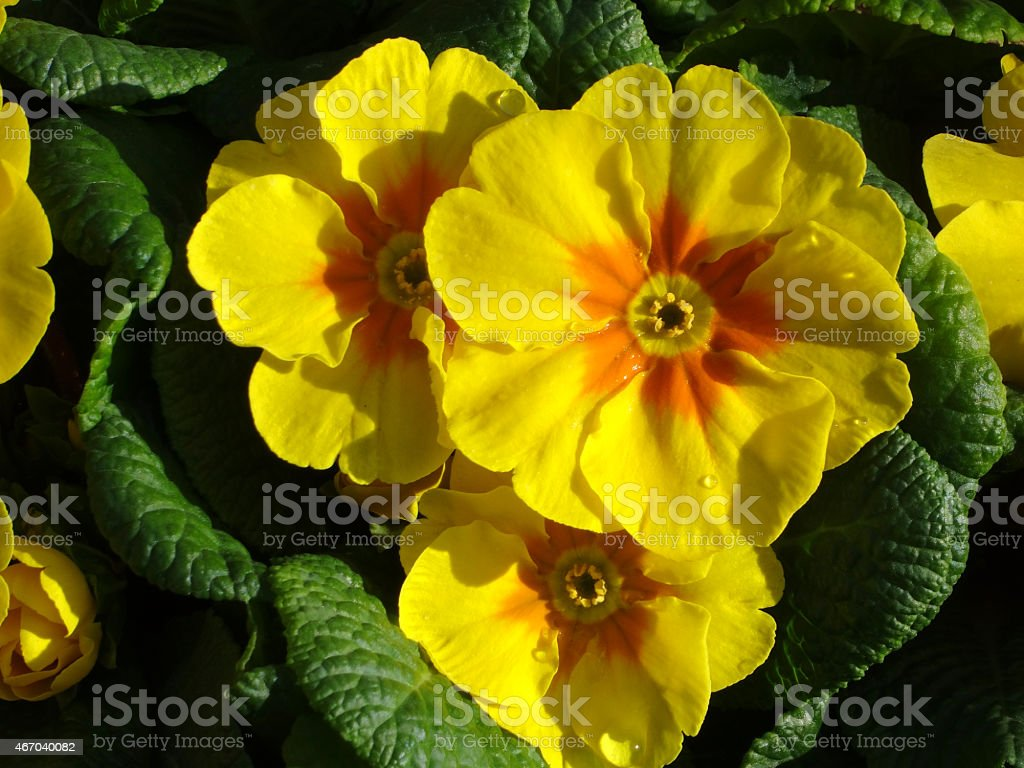 Image Of Yellow Primrose Flowers Annual Winter Spring Bedding Plants