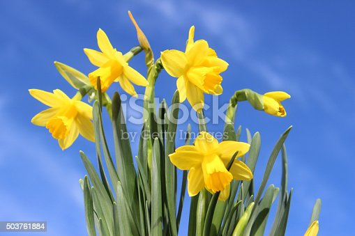 Photo showing a clump of tete-a-tete daffodils (narcissus) viewed against a blue sky with white clouds on a sunny day. These are a particularly popular flowering spring bulb, with their vibrant yellow colour and compact foliage, they are found growing in park flower borders and patio containers.