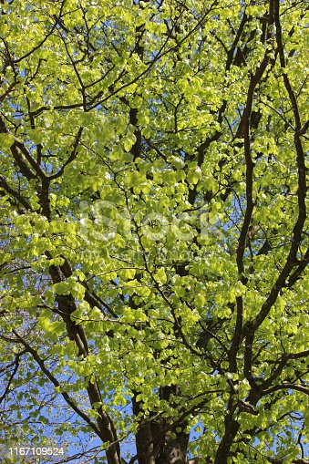 Stock photo of common European young beech tree leaves in spring woodland garden with sky background and lime green foliage, fagus sylvatica trees growing in woodland sunshine sun, deciduous broadleaf tree with large new leaves, branches and twigs
