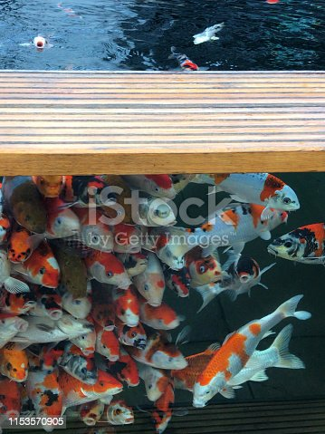 Stock photo showing red and white kohaku young koi carp in glass side pond in and aquatic garden centre supplies, These koi carp are displayed for sale  at garden centre / aquarium aquatic pet shop.