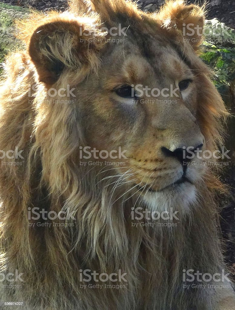 Photo showing a young Asiatic male lion with a big mane around his...