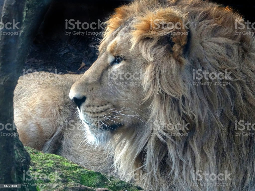 Image of young male Asiatic lion head / face, lying down stock photo
