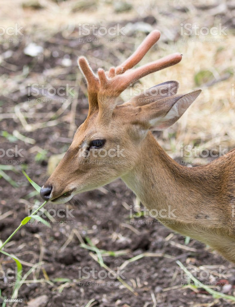 Image of young sambar deer on nature background. foto stock royalty-free