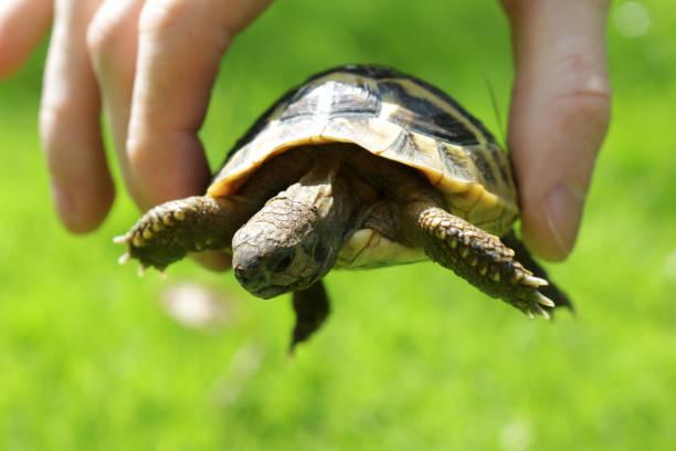 bild von jungen zahmen und freundlichen baby haustier russische hartsfield diät / hermannschildkröte in der hand gehalten in der hand im garten sonnenschein für vitamine über grünem rasen gras, babyschildkröte in den fingern, um größe und skala zu  - babyschildkröten stock-fotos und bilder