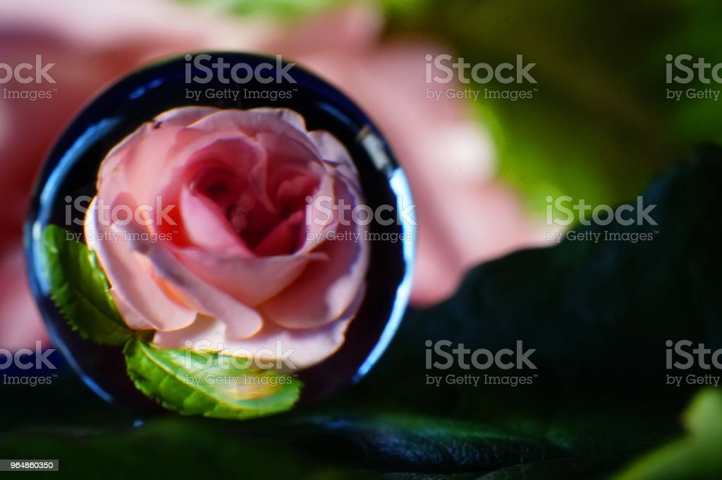 Image Photo Roses royalty-free stock photo