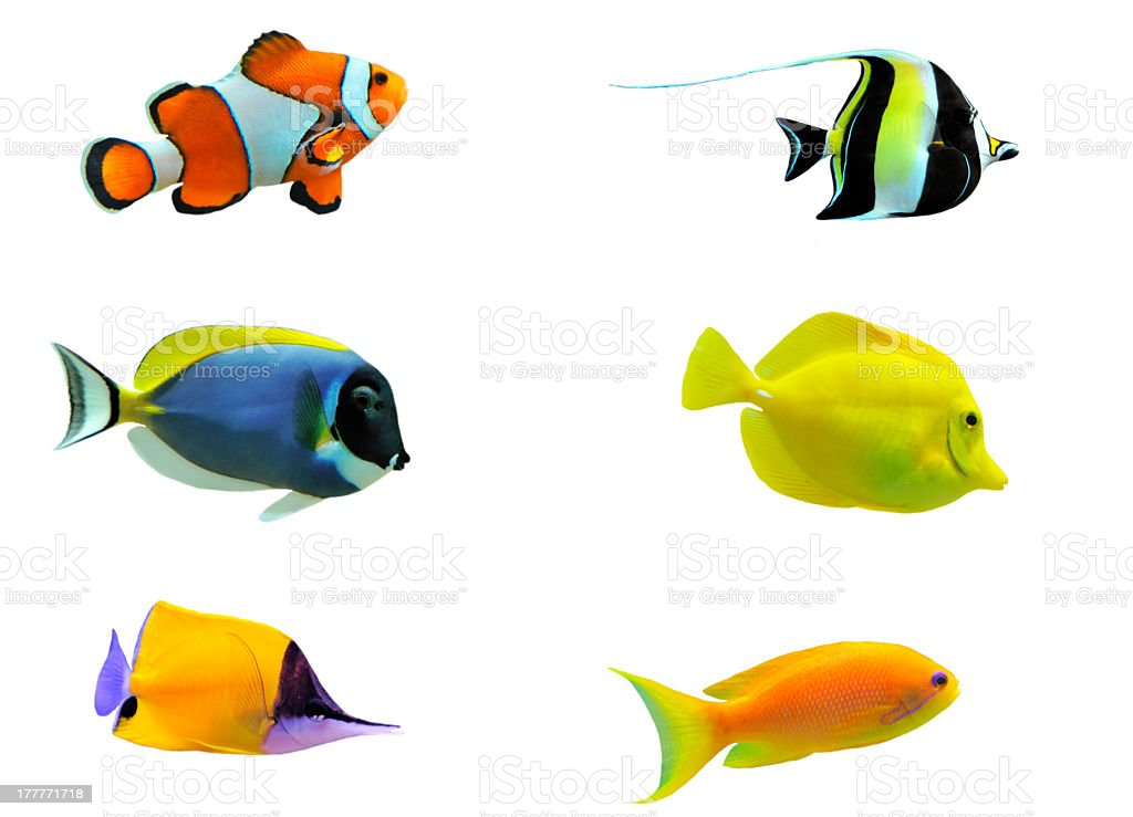 Image set of six tropical fish royalty-free stock photo