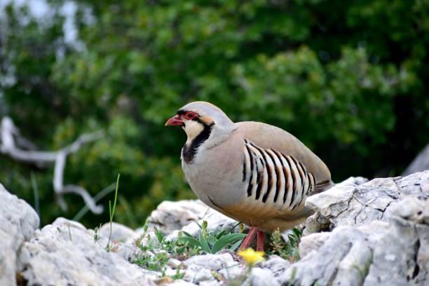 la imagen muestra un pájaro de perdiz de roca (alectoris graeca) sentado en una piedra. - perdiz roja fotografías e imágenes de stock