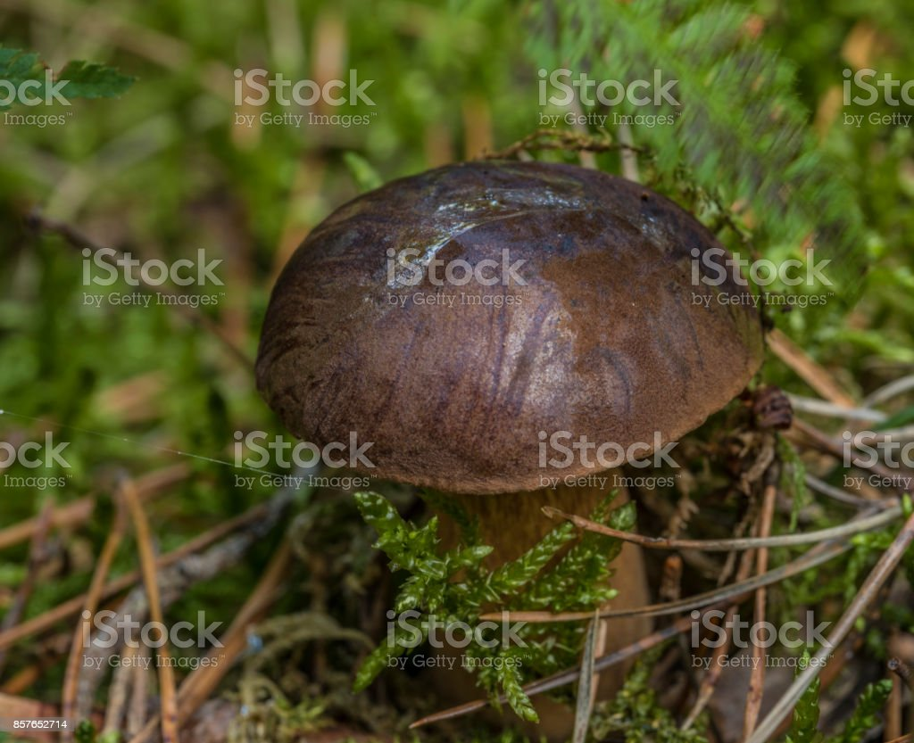 Imleria badia mushroom in green moss stock photo