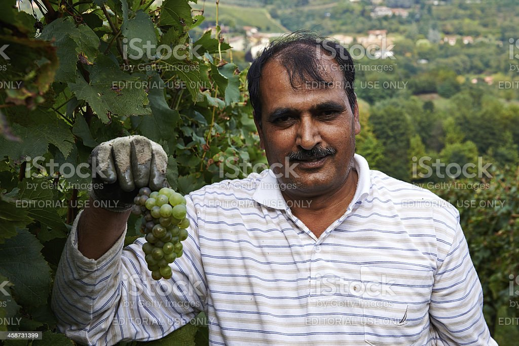 Immagrant Harvesting grapes royalty-free stock photo