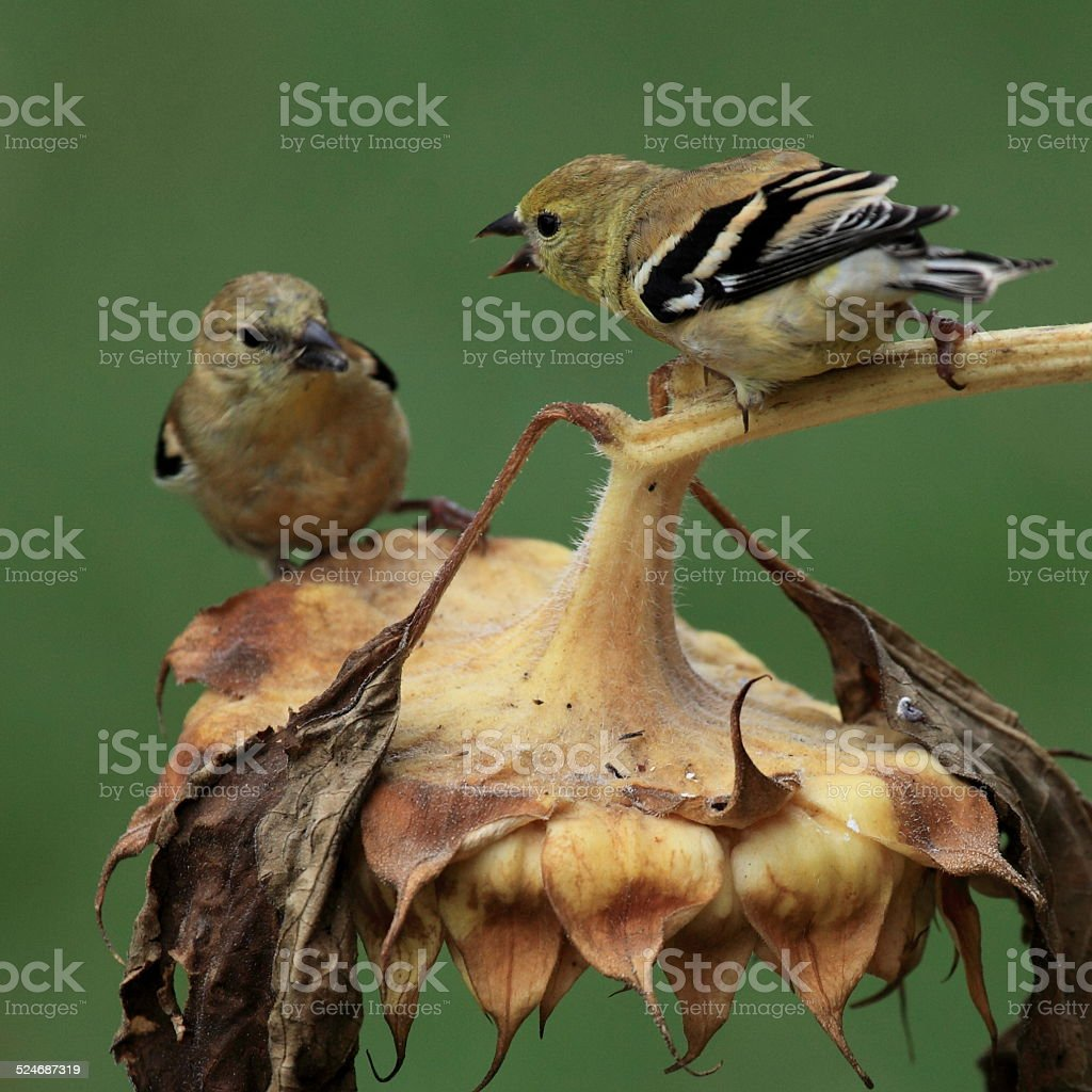 Immature American Goldfinch begging on a sunflower head. stock photo