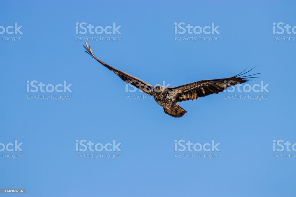 A Immature Bald Eagle flying against a blue background. stock photo