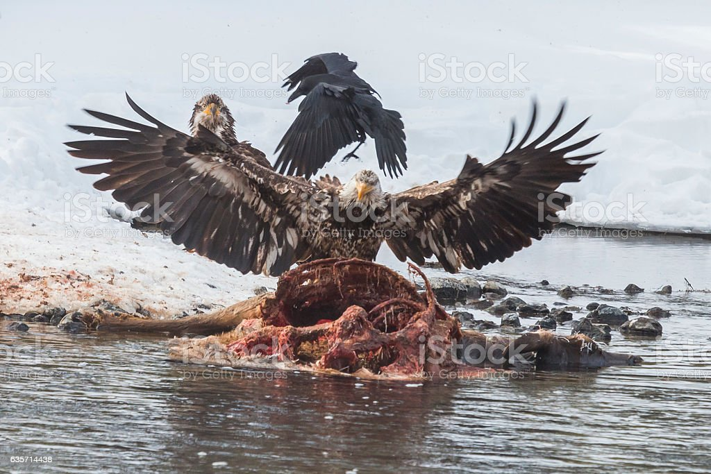 Immature bald eagles on an elk carcass. royalty-free stock photo