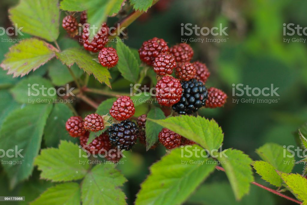 Immature blackberries royalty-free stock photo