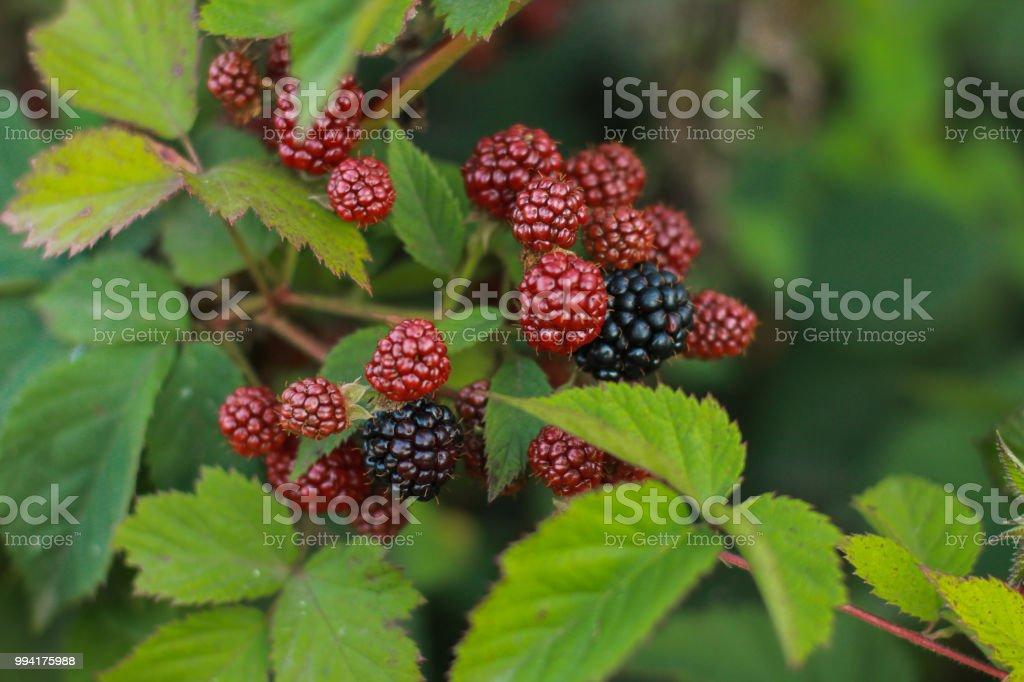 Immature blackberries stock photo