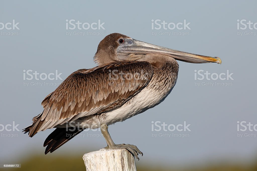 Immature Brown Pelican perched on a dock piling - Florida royalty-free stock photo